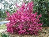 Semillas Loropetalum Chinense árbol 50 Semillas Semillas hermoso ornamento de la flor Bonsai Redrlowered Loropetalum jardín de la flor