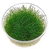 Dwarf Hairgrass - Eleocharis acicularis - in-vitro – Live Aquarium Plant