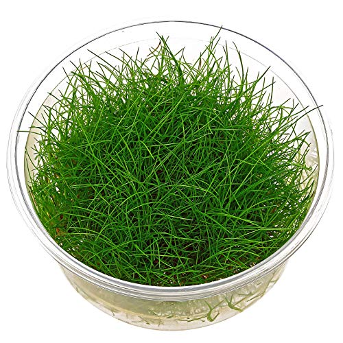 Dwarf Hairgrass - Eleocharis acicularis - in-vitro – Live Aquarium Plant
