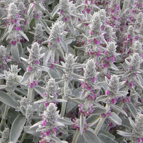 Plant World Seeds - Stachys Lanata Seeds