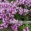 Timo serpillo Seed * Thymus serpyllum * * Wild Thyme madre di semi di timo * Flower * #1