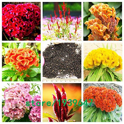 Bloom Green Co. 500 pcs/sac Rare Magnifique couleur Cockscomb Graines Balcon Patio Bonsai Graines de fleurs Celosia cristata Plante en pot + Cadeau Mystère: Rouge