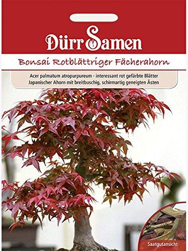 Bonsai-Samen Rotblättriger Fächerahorn