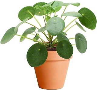 Pilea Peperomioides Planta del Dinero China con Maceta de Cerámica Planta Misionera Natural
