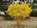 1 Scatola 20 Semi Piangendo forsizia Semi giardino pentole e fioriere