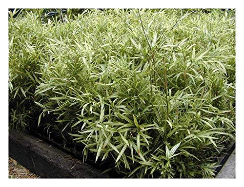 Pleioblastus chino 'Tsuboi' (herbes ornementales, Gräser/rangement) Nain en bambou à partir de 5,49 € par pièce 9x9 cm Topf