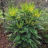 1 X Mahonia Media 'Winter Sun' Oregon Grape Evergreen Shrub Hardy Plant in Pot