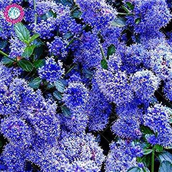 Vistaric 100pcs Rare Blue & White Graines De Lilas Japonais (Extrêmement Parfumé) graines de fleurs de girofle pour la décoration maison & jardin plantation 4