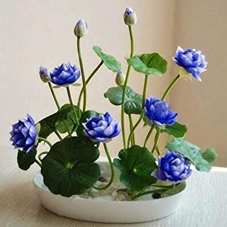 KOUYE GardenSeeds- Mini Water Lotus, Lotus Seeds Hydroponic Aquatic Plant Bonsai Lotus Seed Perennial Flower Seeds Rarities Houseplants