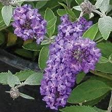 Buddleia 'Blue Heaven' Butterfly Bush Starter Fragrant Plant DP01