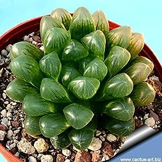Best haworthia obtusa yamada black Reviews