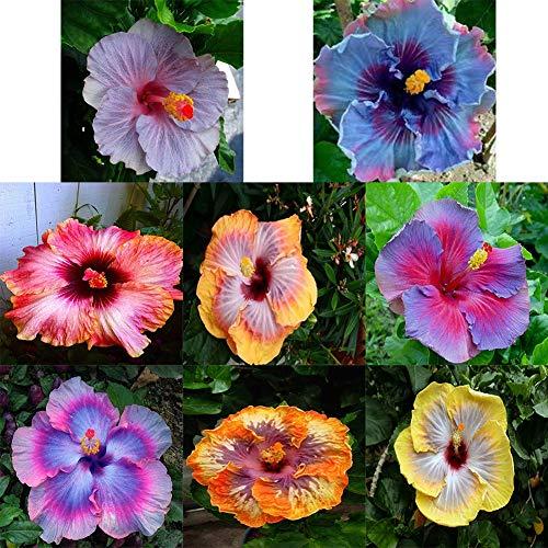 Catkoo 100 Stücke Seltene Hibiskus Samen Exotische Pflanze Hausgarten Zier Blumendekoration Geeignet Küche Wohnzimmer Dekoration, Feiertagsfeier, Dekoration 4# Hibiskus Samen