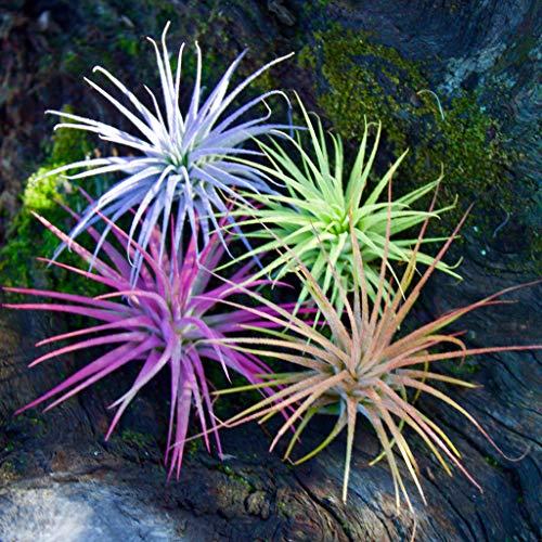 Color Enhanced Air Plants Live House Plants Fairy Garden Plants Terrarium Plants Small Air Plant Tillandsia Ionantha Guatemala (2-3 inch) Colorful Plants Fairy Garden Accessories (1pk Pink)
