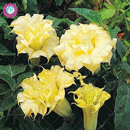 50PCS Datura Fleur Bonsai Graines Gardenia Facile Cultivating vivaces plantes en fleurs pour la maison Balcon Jardin Cour 2