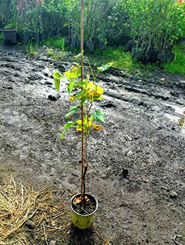 Pianta uva da tavola Zibibbo - Spedizione in 48h UPS/TNT