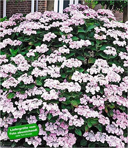 BALDUR-Garten Bauernhortensie Mariesi 1 Pflanze Freilandhortensie winterhart Hydrangea macrophylla