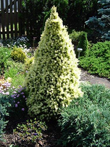 Zwerg Zuckerhutfichte - Picea glauca J.W. Daisys White - 55-60cm im 3 Ltr.Topf