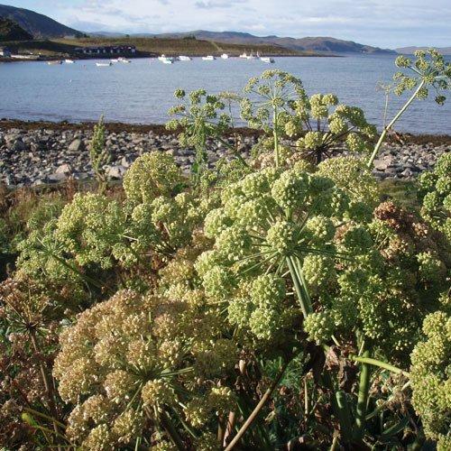 Plant World Seeds - Angelica Archangelica Seeds