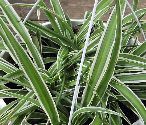 """Reverse Variegated Spider Plant – Easy to Grow/Cleans The Air – 4"""" Pot"""