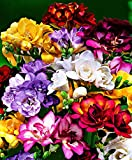 Kisshes Seedhouse - 100pcs Freesias en mélange fleurs graines,couleur riche, son arôme épanoui,vivaces graines fleurs ornementales Maison Jardin Extérieur plante herbacée freesia graines