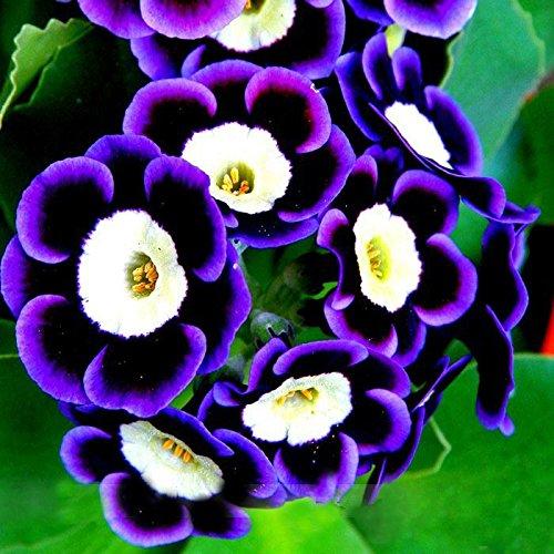 Nouvelle arrivee!!! Rare Phantom Pétunia rares Graines de fleurs 200 graines Paquet Bonsai Garden Petunia