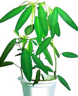Dancing Tree Seeds 10+ Dancing Grass Semillas de plantas Las hojas se mueven realmente (Codariocalyx motorius) Planta fácil de cultivar Gran planta de interior Semillas a granel