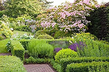 Green Mountain Boxwood - 10 Live Plants - Buxus - Fast Growing Cold Hardy Formal Evergreen Shrub