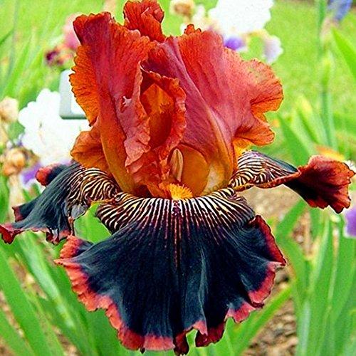 Kisshes Seeds- 50 unids/bolsa Iris Seeds Bonsai Raras semillas de flores perennes Home Garden Planting (# 7)