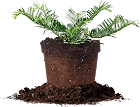 Perfect Plants Spreading Yew Cephalotaxus Live Plant, 1 Gallon, Includes Care Guide