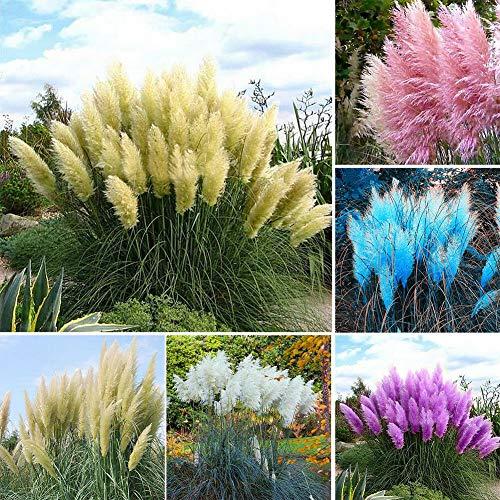 GETSO Graines Paquet: C: 100pcs s Graines Selloana Fleurs rares Graines Jardin Déco