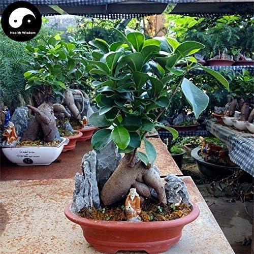 Acheter Ficus Microcarpa arbre Graines de plantes Racines de ginseng Ficus Bonsai