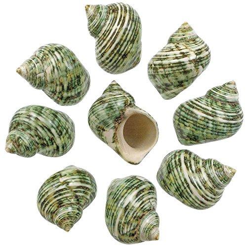Naturosphère - Mer et Coquillages C31 - Coquillages Turbo crassus Verts polis - 5 à 7 cm - Lot de 2