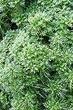 4er-Set im Gratis-Pflanzkorb - Klärpflanze! - Hottonia palustris - Wasserfeder - Wasserprimel, weiß-rosa - Wasserpflanzen Wolff