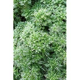 4er-Set im Gratis-Pflanzkorb - Klärpflanze! - Hottonia palustris