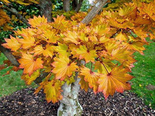 Ahorn shirasawanum Aureum - oranger japanischer Fächerahorn - verschiedene Größen (50-60cm - Topf 3 Ltr.)