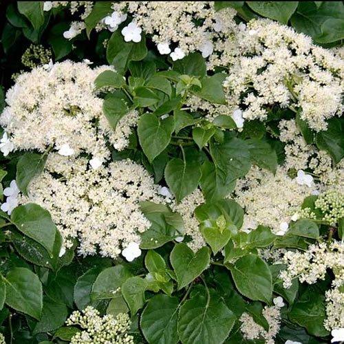 3 X Hydrangea 'PETIOLARIS' Climbing DECIDUOUS Shrub Hardy Plant in Pot