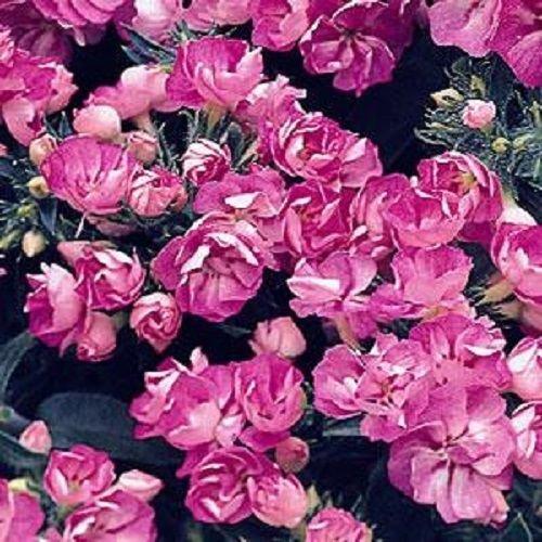 50 Samen von Phlox Versprechen Lila Blau Doppel Blume Phlox Blumensamen Phlox Drummon