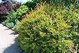 Abelia Grandiflora Francis Mason - 3 Live Plants - Flowering Deer Resistant Butterfly Attracting Shrub
