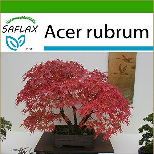 SAFLAX - Acero rosso - 20 semi - Con substrato - Acer rubrum
