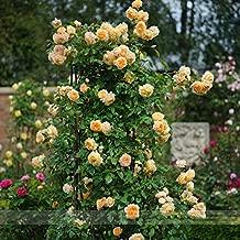 ADB Inc Rare ' Crown Princess Margareta' Orange Climbing Rose Shrub Seeds