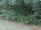 Lucidum Ligustrum Plants (Wax Leaf Privet)
