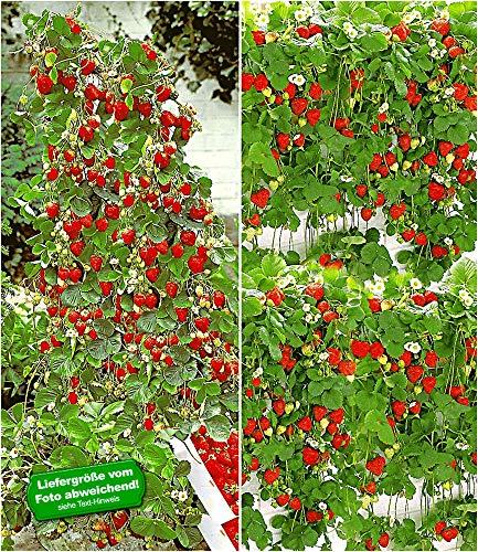 BALDUR Garten Erdbeer-Kollektion Hummi®, 4 Pflanzen je 2 Pflanzen der original Klettererdbeere und Hängeerdbeere winterhart