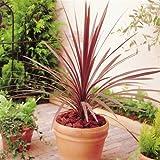 Keulenlilie Red Star - 2 pflanzen