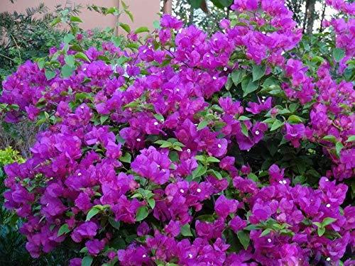 Hot Sale! De Flores Vivace Floraison des Plantes de Graines Violet Bougainvillea spectabilis Bonsai GRAINES 100 PCS / Bag, # E26EY0