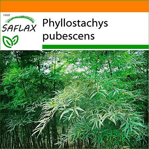 SAFLAX - Jardin dans le sac - Bambou Moso - 20 graines - Phyllostachys pubescens