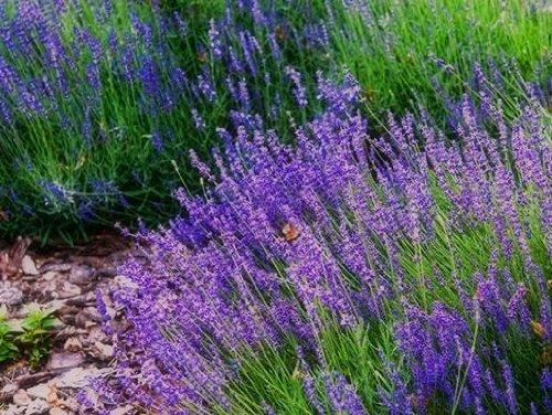 Echte Lavendel - Lavandula Vera - 200 Samen