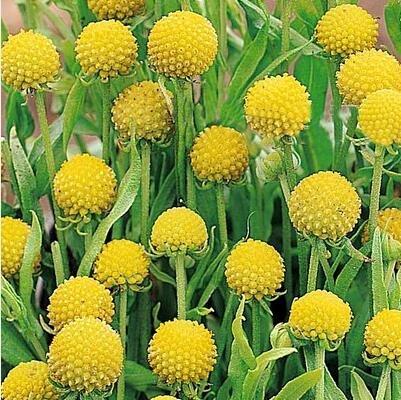 Pinkdose® Pinkdose Blumensamen: Craspedia Globosa Drumstick Samen Samen Paket (4 Pakete) Garten Pflanzensamen von