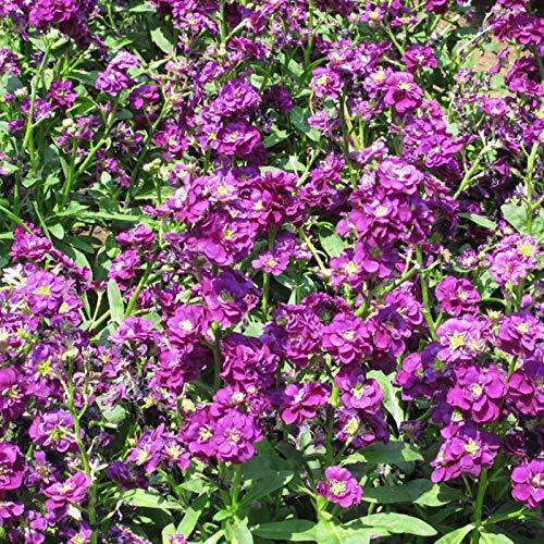 XINDUO Mehrjährig Blumen,Einfach zu Pflanzen Garten Violette Blumensamen-500 Kapseln,Blüten Saatgut mehrjährig