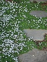 Perennial Farm Marketplace Isotoma fluviatilis ((Blue Star Creeper) Groundcover, 1 Quart, Sky Bluish Flowers