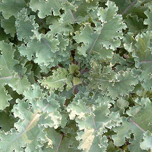 Markstammkohl (Brassica oleracea) 1kg Futterkohl Stangenkohl Feldfutter Markkohl